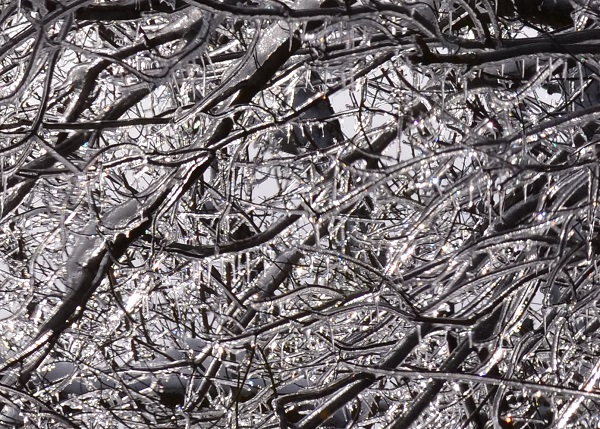 Tree Branches Encased in Ice